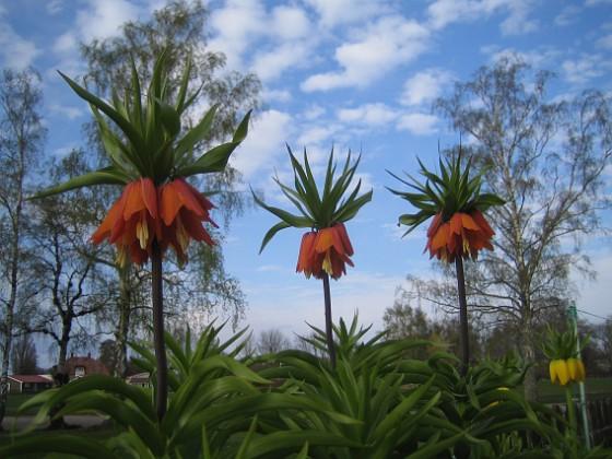 Kejsarkrona Fritilaria Imperialis&nbsp 2015-04-26 IMG_0016 Granudden Färjestaden Öland