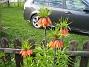 Kejsarkrona Fritilaria Imperialis 2015-04-26 IMG_0001