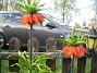 Kejsarkrona Fritilaria Imperialis 2015-04-26 IMG_0002