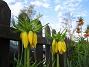 Kejsarkrona Fritilaria Imperialis 2015-04-26 IMG_0004