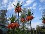 Kejsarkrona Fritilaria Imperialis 2015-04-26 IMG_0006