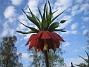 Fritilaria Imperialis (2015-04-26 IMG_0012)