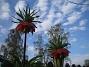 Kejsarkrona Fritilaria Imperialis 2015-04-26 IMG_0014