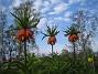 Kejsarkrona Fritilaria Imperialis 2015-04-26 IMG_0016