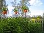 Kejsarkrona Fritilaria Imperialis 2015-04-26 IMG_0017