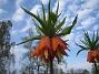 Kejsarkrona Fritilaria Imperialis 2015-04-26 IMG_0018