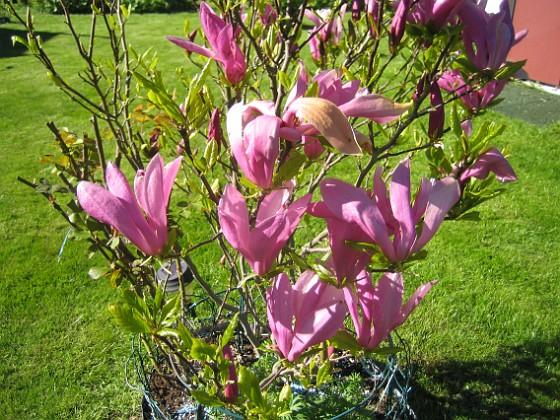 Magnolia Jag brukar annars missa blomningen på denna raritet men icke i år!&nbsp 2015-05-15 IMG_0039 Granudden Färjestaden Öland