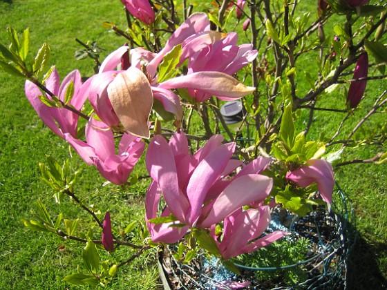 Magnolia Den växer inte så fort men den har blivit mycket större än vad den var när jag köpte den för några år sedan. 2015-05-15 IMG_0040 Granudden Färjestaden Öland