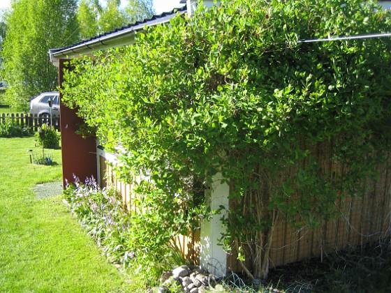 Kaprifol Kaprifolen växer och växer och snart börjar den blomma.&nbsp 2015-05-15 IMG_0046 Granudden Färjestaden Öland