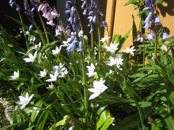 Klockhyacint och Morgonstjärna Morgonstjärna och den växer som ogräs!&nbsp 2015-05-15 IMG_0052 Granudden Färjestaden Öland