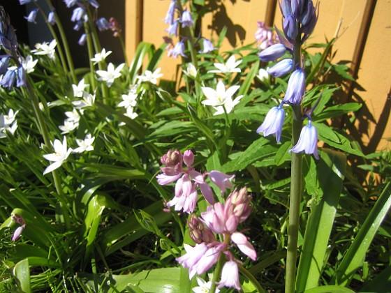 Klockhyacint och Morgonstjärna Slut på dagens rundtur i trädgården!&nbsp 2015-05-15 IMG_0062 Granudden Färjestaden Öland