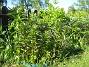 Liljor Här blir det massor, massor av Liljor i år. 2015-05-15 IMG_0028