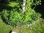 Björken Här under Björken finns Blodnäva och Akleja. 2015-05-15 IMG_0037