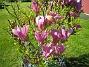 Magnolia Jag brukar annars missa blomningen på denna raritet men icke i år! 2015-05-15 IMG_0039