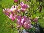 Magnolia Den växer inte så fort men den har blivit mycket större än vad den var när jag köpte den för några år sedan. 2015-05-15 IMG_0040