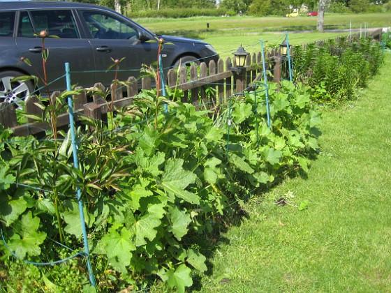 Stockros { På insidan av staketet har jag till vänster både Pioner och Stockros. }