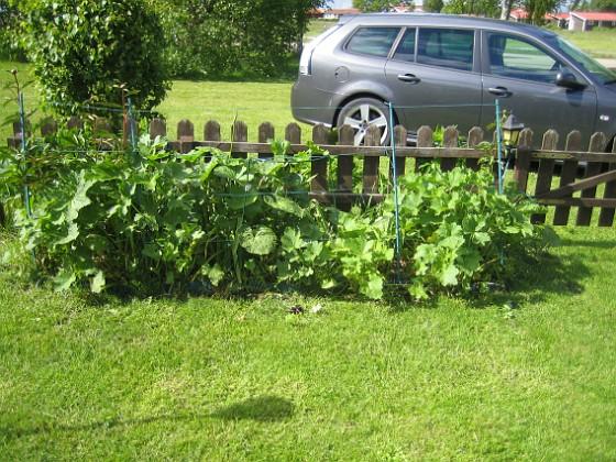 Stockros Så här ser den planteringen ut framifrån.&nbsp 2015-05-30 IMG_0006 Granudden Färjestaden Öland