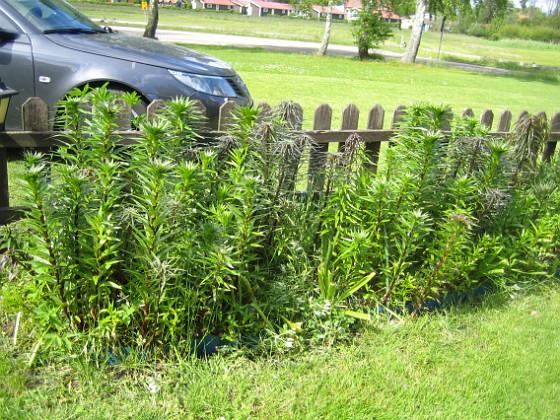 Liljor Till höger om grinden har jag en massa Liljor som kommer att slå ut om en månad eller så.&nbsp 2015-05-30 IMG_0007 Granudden Färjestaden Öland