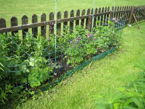 Akleja { Längre bort längs staketet har jag en plantering med Studentnejlika, Praktriddarsporre och Akleja. }