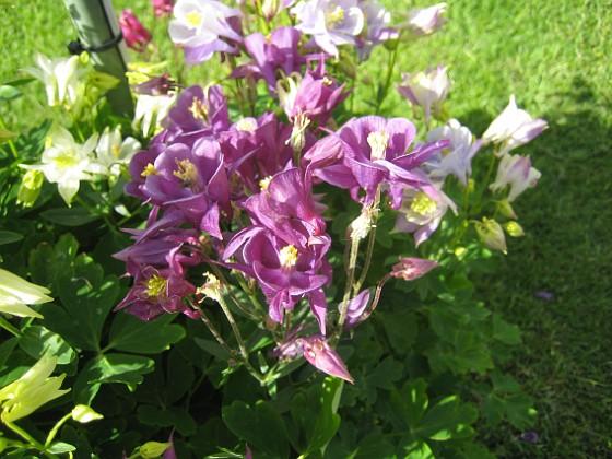 Akleja Denna är lila.&nbsp 2015-05-30 IMG_0020 Granudden Färjestaden Öland