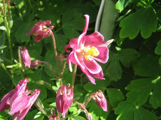 Akleja Här är en röd Akleja i strålande solsken.&nbsp 2015-05-30 IMG_0026 Granudden Färjestaden Öland