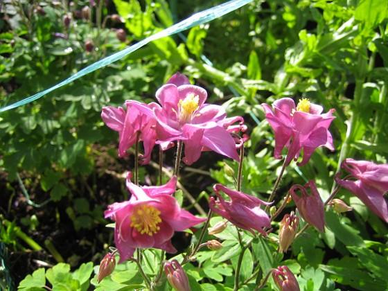 Akleja { Här är en rosa Akleja. }