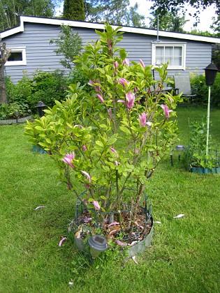 Magnolia Mitt på gräsmattan står min ståtliga Magnolia. Den har blommat några veckor nu så den sjunger snart på sista versen så att säga.&nbsp 2015-05-30 IMG_0037 Granudden Färjestaden Öland
