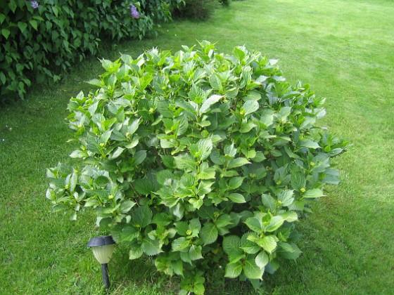 Hortensia { Här en, eller rättare sagt 3, Hortensia. Den blir större och större för varje år. }