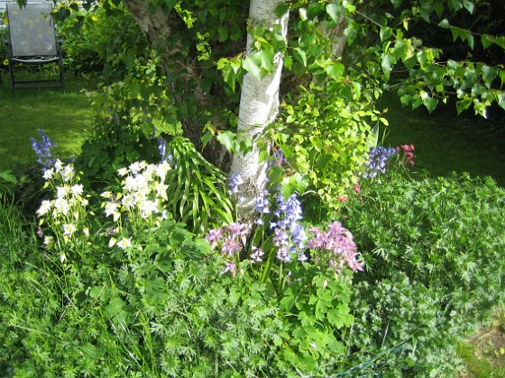 Björken Nu förflyttar vi oss till planteringen under Björken.&nbsp 2015-05-30 IMG_0042 Granudden Färjestaden Öland