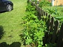 Lupiner Här på utsidan av staketet kommer det snart att blomma Lupiner. 2015-05-30 IMG_0003