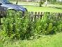 Liljor Till höger om grinden har jag en massa Liljor som kommer att slå ut om en månad eller så. 2015-05-30 IMG_0007