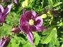 En närbild på den lila Aklejsan. (2015-05-30 IMG_0022)