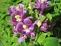 Akleja Denna lila Akleja gör sig bra i bild! 2015-05-30 IMG_0024