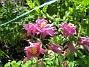 Akleja Här är en rosa Akleja. 2015-05-30 IMG_0033