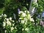 Akleja Här finns Klockhyacint och Akleja i olika färger. 2015-05-30 IMG_0043