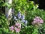 Klockhyacint Dessa färgkombinationer är särskilt vackra i lite solsken. 2015-05-30 IMG_0044