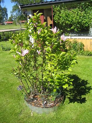 Magnolia  2015-06-05 IMG_0109 Granudden Färjestaden Öland