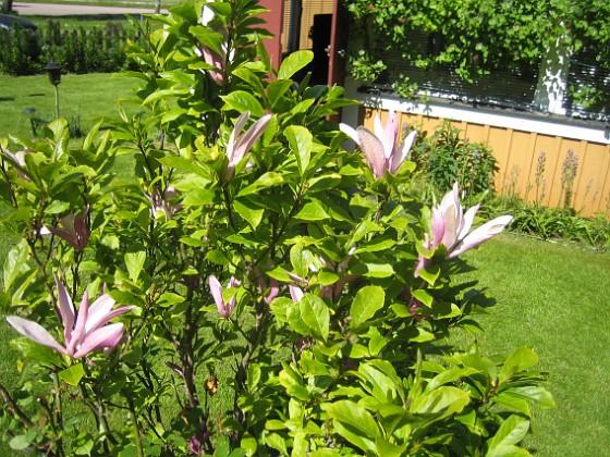 Magnolia &nbsp 2015-06-05 IMG_0110 Granudden Färjestaden Öland