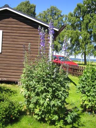 Riddarsporre ... och några blommor finns redan.&nbsp 2015-06-26 IMG_0008 Granudden Färjestaden Öland