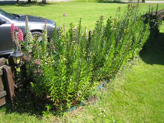 Liljor Här blir det om någon vecka vackra Liljor.&nbsp 2015-06-26 IMG_0016 Granudden Färjestaden Öland