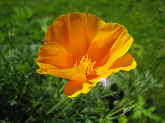 Sömntuta { Det blir extra vackert med blå Geranium och orangea Sömntutor i samma plantering. }