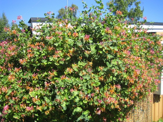 Blomsterkaprifol Min Kaprifol växer och växer...&nbsp 2015-06-26 IMG_0030 Granudden Färjestaden Öland