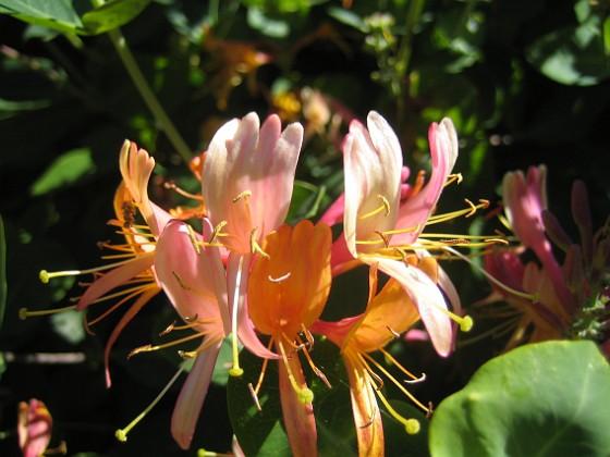 Blomsterkaprifol  2015-06-26 IMG_0040 Granudden Färjestaden Öland
