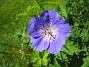 Den tillhör släktet Geranium, dvs är besläktad med Pelargonen. (2015-06-26 IMG_0023)
