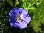 Midsommarblomster Jag har 3 sådana plantor som jag satte förra året. 2015-06-26 IMG_0024