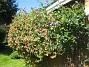 Blomsterkaprifol ... och har blivit jättestor! 2015-06-26 IMG_0031