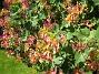 Blomsterkaprifol Nu täcker den en altangavel plus framsidan av altanen också. 2015-06-26 IMG_0032