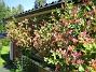 Blomsterkaprifol Det började med en enda stjälk som vi lät växa frmför altanen. 2015-06-26 IMG_0038