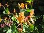 Blomsterkaprifol  2015-06-26 IMG_0039