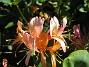 Blomsterkaprifol  2015-06-26 IMG_0040